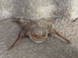 Small bat under our roof